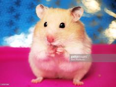 Stock Photo : Sweet Syrian hamster licking her paw