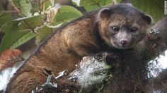 The olinguito (Bassaricyon neblina) is the first mammalian carnivore species to be discovered in the Americas in 35 years,the Smithsonian Institution in Washington.