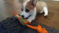 Adorable doe-eyed corgi pup