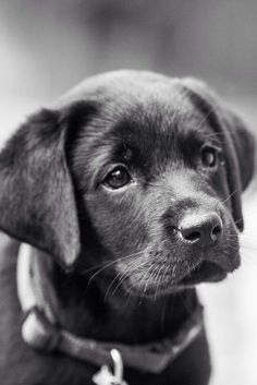 Sweet Black Lab