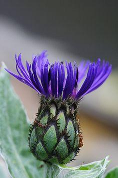 cornflower by Lord V, via Flickr