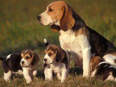 Beagle puppies wallpaper