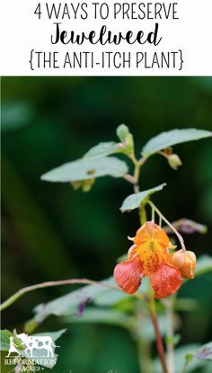 4 Ways To Preserve Jewelweed (The Anti-Itch Plant)
