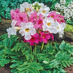 Incarvillea Mix-I bought some of these for 2017 planting. I hope they are this pretty when they bloom. Colorful Flowers, Purple Flowers, White Flowers, Weird Plants, Unusual Plants, Deer Resistant Flowers, Pink Perennials, Perennial Bulbs, Hummingbird Plants