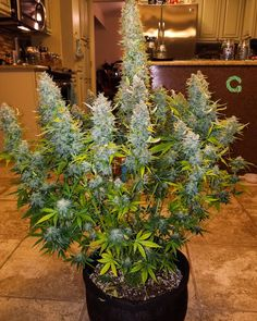 11.9k Followers, 975 Following, 180 Posts - See Instagram photos and videos from Grow Diaries (@grow.diaries) Weed, Photo And Video, Pictures, Photos, Videos, Diaries, Specs, Followers, Instagram Posts
