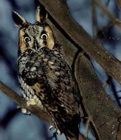 Long-eared Owl | Long-Eared Owl Pictures, great pictures of long-eared owls in nature