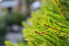 9 reasons real Christmas trees are better than fake ones Fake Trees, Real Christmas Tree, Artificial Tree, Plant Leaves, Herbs, Good Things, Plants, Herb, Plant