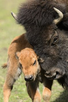 A one day-old American bison cub and its mother enjoy a sunny day in their compound at the zoo de Servion, in Servion, Switzerland, Friday, April 27, 2012. (AP Photo/Keystone, Laurent Gillieron)