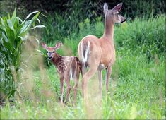 A mama deer and her little fawn. Deer Family, Bambi, Wild Animals, Photo Contest, Prints, Pageant Photography, Photography Challenge, Wild Ones