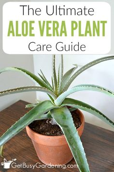 Aloe Vera Plant Care: The Ultimate Guide For How To Grow Aloe Vera Whether you're growing aloe vera indoors or outdoors, the care is the same. Learn how to grow aloe vera in this detailed aloe vera plant care guide. Organic Gardening, Gardening Tips, Indoor Gardening, Gardening Books, Urban Gardening, Hydroponic Gardening, Urban Farming, Aloe Plant Care, Growing Aloe Vera