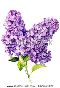 Стоковая иллюстрация «Lilac Flowers On Isolated White Background Lilac Tree, Lilac Flowers, Vintage Flowers, Beautiful Flowers, Lilac Painting, Plant Painting, Botanical Drawings, Botanical Prints, Watercolor Flowers