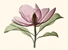 Evolve Images, LLC | Magnolia, Brackens Brown Beauty x-ray, colored