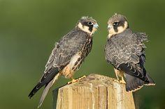 Jonge Boomvalken  (Van vroegevogels)