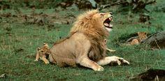 Ein Löwenbaby zwackt seinen Vater spielerisch ins Hinterteil und holt ihn dabei aus dem Schlummer. Die Großkatzen brauchen bis zu 18 Stunden Schlaf, den sie meist tagsüber halten. Nachts aber werden sie aktiv und gehen auf die Jagd nach Gnus und Antilopen, allen voran die Löwinnen, die gern im Rudel angreifen. – Diese Karte hier online kaufen: http://bkurl.de/pkshop-211060 Art.-Nr.: 211060 Löwenbäby mit Vater | Foto: © Yann Arthus-Bertrand | Text: Rolf Bökemeier