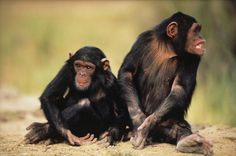 When chimpanzee totem appears it may be trying to show you an easier way to do something, or offering you a better tool.