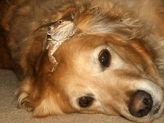 Fast friends  Our patient golden retriever, Molly, puts up with our bearded dragon, Ozzie.