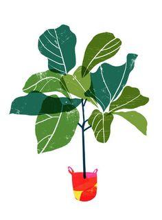 'Fiddle Leaf Fig Tree' by Anek #GoodGardens