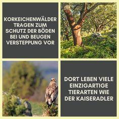 Wusstest du das? Korkeichenwälder leisten einen großen Beitrag zur Erhaltung der Umwelt. Sie tragen zum Schutz der Böden und zur Regulierung des Wasserhaushalts bei und beugen so der Versteppung vor. 🌱 Die Korkeiche ist ein immergrüner Laubbaum, der bei der Fotosynthese einen erheblichen Teil CO² aufnimmt. 🌳 Die Wälder beherbergen eine große Vielfalt an einzigartigen Pflanzen- und Tierarten, darunter auch stark bedrohte Tiere wie den Kaiseradler. 🦅 #Korkeichenwälder #Kork #Umwelt… Types Of Animals, Eagle, Unique, Boden