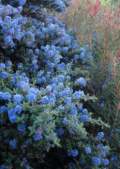 Varieties of Ceanothus, or California lilac, range from small trees to groundcovers. It needs no irrigation once established and resists gopher damage. Photo: Pam Peirce