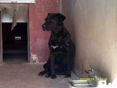 ☆URGENT☆ 3/20/17 ● SWEET GIRL LONGS FOR LOVING HOME! - ID#A188463 I am a female, black and white Labrador Retriever mix. The shelter staff think I am about 3 years old. I have been at the shelter since Feb 09, 2017. Pinal County Animal Care and Control. Casa Grande, AZ