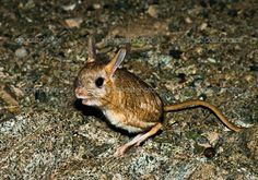 Dwarf Fat-Tailed Jerboa | Dwarf Fat-tailed Jerboa (Pygeretmus pumilio) - Stock Image Rodents, Hamsters, Natural Background, Dwarf, Kangaroo, Fat, Stock Photos, Nature, Mice