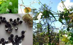 Love Puff Heart Vine Cardiospermum Halicacabum Seeds