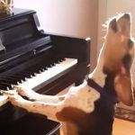 Funny And Adorable Dog Loves To Play The Piano! A Real Music Lover  Meet Buddy the rescue dog who seems to have a thing for music. He just loves to play the piano and the passion with which he plays wins our hearts.  He knows that he is being filmed and he tries to deliver a wonderful performance to convince us that he is a real musician. Buddy has been earning the praise and love of all music fans around the world.    Mambo del Gardo wrote in the video comments:  you don't usuall..