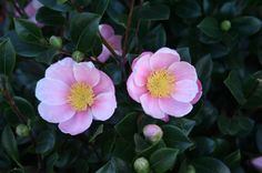 sasanqua camellia, zones 5-9, moderate water, they say full sun, but in Houston part shade is helpful.