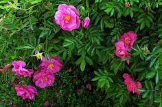 Nukkeruusu Rosa nitida