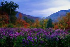 Large landscape photograph of purple flowers and autumn foliage in a meadow at twilight, in Crawford Notch, New Hampshire. New Hampshire Meadow Wall Art apart of the Pacific Art Group, By: George Oze from Great Big Canvas Twilight Poster, Wall Art Prints, Canvas Prints, Big Canvas, Framed Prints, Flower Wall Decor, Landscape Photographers, Color Photography, New Hampshire