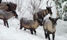 Woodland caribou are on the verge of dying out in Alberta, where tar sands development adversely affects the herds.