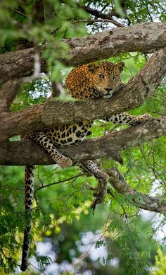 YALA NATIONAL PARK The western portion of the park is also known for having the highest concentration of leopards in the world.