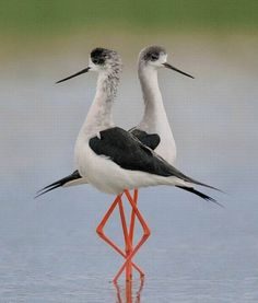 symmetry of avocets