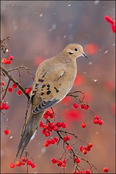 mourning dove with berries in the snow