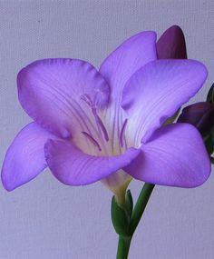 Freesia Mercurius (Single) - Freesias - Indoor Bulbs - Flower Bulbs Index