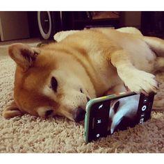 柴スナップ sur Instagram : Selfie Shiba⇨@dailydoseofyosh⇦ 可愛い角度は自分が1番知ってるワン # #Selfie #自撮り #柴セルフィー #SelfieShiba