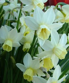 Narcissus Toto - Cyclamineus Narcissi - Narcissi - Flower Bulb Index