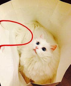 Turkish Angora - The Prettiest Cat In The Whole World! Turkish Angora Cat, Angora Cats, Cat With Blue Eyes, White Cats, Pretty Cats, Prettiest Cat, Cute, Painting, Animals