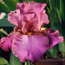 Cranberry Ice...Schreiner's Iris Gardens