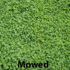 Mowing mini clover, a nitrogen-fixing plant, makes stems and leaves grow small and blend into lawn