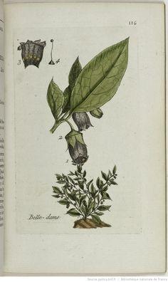 ATROPA - Atropa belladona. La belle-dame / La belladone / La bonne-bonne / La bonne-dame