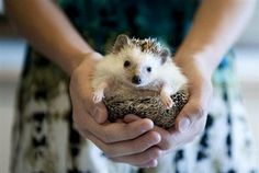 The Gazette, Mariah Tauger / AP Photo  Inky, a participant at The Rocky Mountain Hedgehog Show, in Colorado Springs, Colo. Fewer than 150,000 live hedgehogs are estimated to live in the United States, despite their well-known roles in the Beatrix Potter books, Disney-Pixar movies and Sega video games.