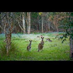 Wallabies at Coombabah