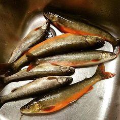 Kveldsmaten i boks!  #fish #articchar #freshfish #icefishing #supper #red #fishing #water #ice #yum #food #girlswhofish #visitnorway #hamarøy #utno #norway #easter #vacation #røye
