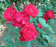 Sunday Morning Roses
