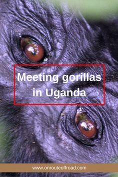 The incredible experience of meeting gorillas in Uganda in Africa