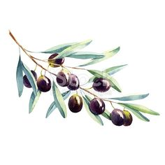 Watercolor Olive Branch On White Background Stock Illustration 227550679 Watercolor Fruit, Watercolor Leaves, Watercolor And Ink, Watercolor Paintings, Watercolor Artists, Abstract Paintings, Oil Paintings, Landscape Paintings, Pencil Illustration