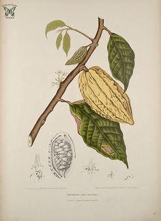Cacao, cocoa. Theobroma cacao var. alba. Fleurs, fruits et feuillages choisis de l'ille de Java -peints d'après nature par Berthe Hoola van Nooten (1880)