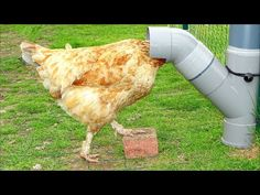 Comment réaliser une mangeoire à poules. Facile, zéro gaspi, ant-intrusion ! - YouTube Pvc Chicken Feeder, Bird Cage, Gardens, Homemade Tools, Hens, Hen House, Birds, Everything, Garden Landscaping