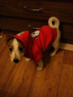 Kali - 6 week Jack Russell Parsons Terrier